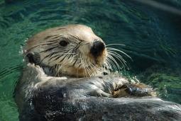 Vancouver Aquarium Otter feeding